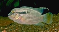 Laetacara flavilabris