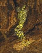 Panamius panamense larver