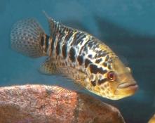 Parachromis managuense