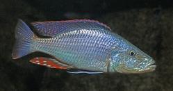 Dimidiochromis compressiceps