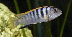 Pseudotropheus spc. hongi