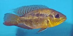 Chaetobranchus  flavecens