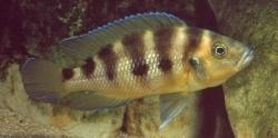 Nerolamprologus sexfasciatus