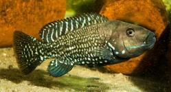 Iranocichla horbuzensis