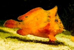 Antenennarius biocellatus