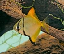 Monodacteus argenteus  Månefisk