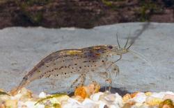 Caradina japonica