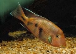 Geophagus crassilabris Rio Aqua Suscio variant