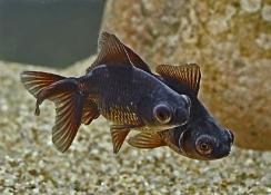 Guldfisk Black Moor