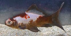 Guldfisk variant