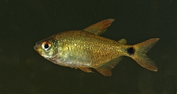 Hyphessobrycon heliacus hun