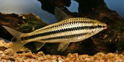 Liporinus striatus