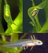 Lille Salamander æg.larve,unge