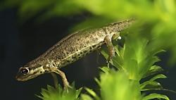 Lille Salamander Hunnen afsætter æg