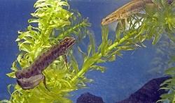 Lille Salamander  Optakt til leg