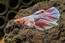 Betta splendens Kampfisk