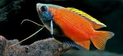 Trichogaster chuna_1