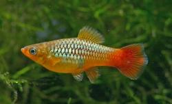 Xiphophorus variatus