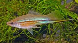 Xiphophorus hellerii