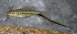 Xiphophorus montezuma